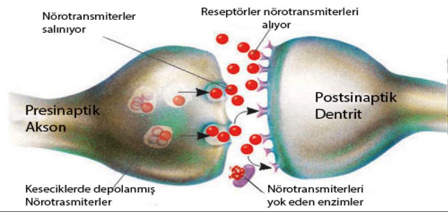 beyin sinaps nörotrasmitter dopamin